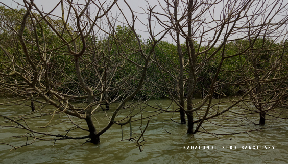 Kadalundi Bird Sanctuary Mangroves